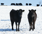 Cea mai nouă rasă de vaci de carne din România amenință supremația Angus