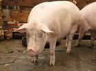 Fermierii pot depune incepand cu data de 20 mai cereri de ajutor pentru bunastarea animalelor